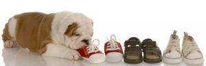 DIcker Hund frisst drei Paar Schuhe.