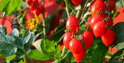 Strauch Tomaten auf einem Balkon.