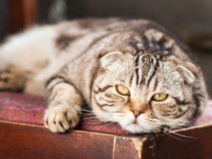 Faule Katze mit gelben Augen