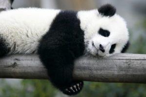 Ein Panda liegt auf einem baumstamm