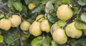 Quitten Baum mit frischen Früchten