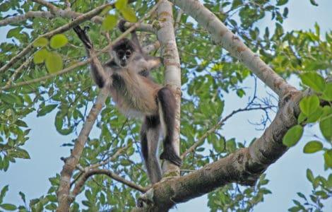 Äffchen hüpft von Ast zu Ast - Monkey Mind