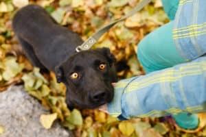 schwarzer Hund guckt dankbar nach oben